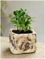 Tashveen Articles Off White and Brown / Flower Pot/Gamla Both Ceramic Planters